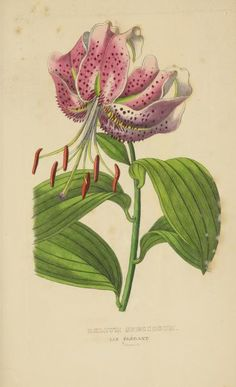 Lilium speciosum. Dictionnaire classique des sciences naturelles. Atlas. Brussels :Meline, Cans et Ce.,1853. Biodiversitylibrary. Biodivlibrary. BHL. Biodiversity Heritage Library