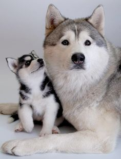 Siberian Husky: a look at what the future may hold... I love it!