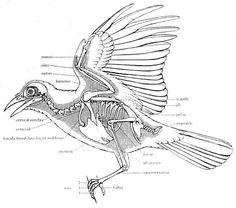 16 Ideas For Science Tattoo Anatomy Bones Bird Drawings, Animal Drawings, Cool Drawings, Drawing Pictures, Crow Art, Bird Art, Funny Bird, Anatomy Bones, Wing Anatomy