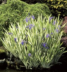 Dwarf variegated Japanese Iris. Good size for container water gardening and easy to buy as bulbs online. www.ContainerWaterGardens.net