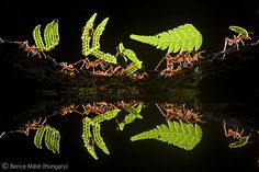 """""""Workers' reflections    This line of fern-laden ants and their guards, their dainty bodies reflected in the water below, belies how resilient leaf-cutter ants are. The female workers transport leaves to their nest from a radius of more than 100 metres (300 feet). Each load is chewed up and used as compost for cultivating fungi, the food they grow in their indoor garden."""""""