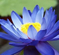 10 lotus seeds  Blue Fairy Lotus Flower  Gorgeous Aquatic Plants Lotos for home garden planting
