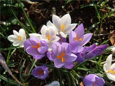 Spring crocuses are naturalised around the lawns & grounds here at West Down House. #Devon