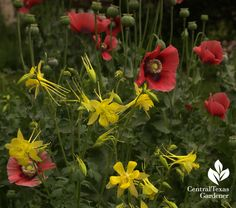Corn poppies and columbine. Plant in fall for spring wonder!