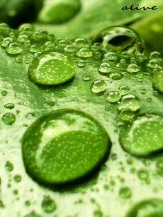 Green Leaves w/ Dew Drops