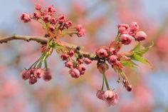 Nieuw in mijn Werk aan de Muur shop: Japanse sierkers in bloei
