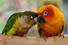 Jade & Kona (Green Cheek Conure & Sun Conure) our adopted birds