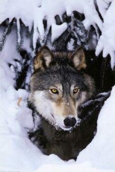 BEAUTIFUL Wolf...
