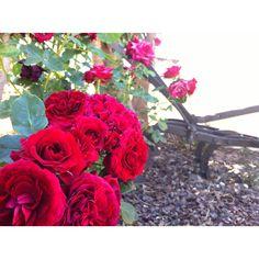Este ramillete de rosas parece de los jardines de hacienda Los Conejitos parece que esta preparado para una novia