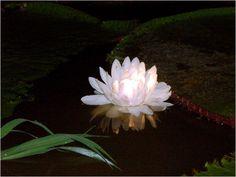 Vitória Régia. Escreva para contato@floresnaweb.com para encomendar suas flores para presente.