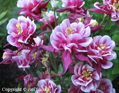Aquilegia Winky Double Red and White Annual Plants, Perennials, Red And White, Rose, Flowers, Parks, Gardens, Cottage, Pink
