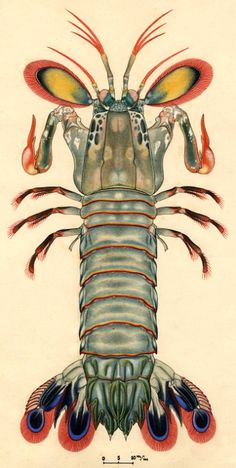 Original artwork of a mantis shrimp (Odontodactylus scyllarus) by Carl Linnaeus, (Courtesy of the Smithsonian's National Museum of Natural History) Science Illustration, Nature Illustration, Mantis Shrimp, Swamp Creature, Historia Natural, Art Through The Ages, Art Nouveau, Street Art, Insect Art