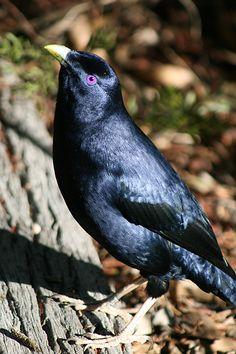 Ptilonorhynchus violaceus  Satin Bower Bird