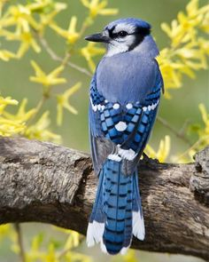 Blue Jays are such a showy gorgeous bird & help so much by being a huge insect eater!
