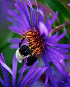 Bee on purple flower by Prince Andre Faubert Purple Accessories, Purple Jewelry, Purple Necklace, Purple Art, Purple Flowers, Butterfly Kisses, Butterflies, Aster Flower Tattoos, Garden Tattoos