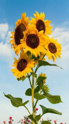 Flowers - Beautiful Sunflowers bloom standing tall against a cloud-draped blue sky. - photographer Kenneth Keifer