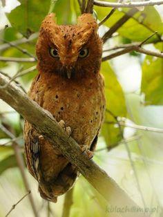 Sokoke Scops-Owl - Otus ireneae - syczek brunatny