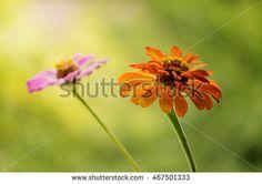 Zinnia Elegance. Flowers in garden. Flowers in wind. Colors flowers. Image ID:467501333 Copyright: Alina Craita