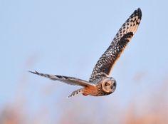 Asio flammeus/Short-eared Owl/コミミズク