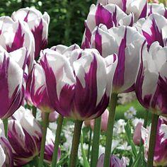 Zureltulip   Home > Zurel Tulip - Pack of 5