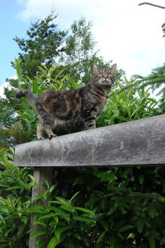 Abbey - cyperse poes / kat