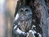 Barred Owl (Strix Varia) in a Hollow of a Maple Tree (Acer). North America