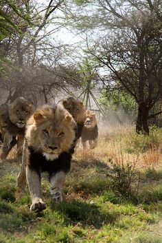 charging lions..if you've ever been near a lion when it roars then you know true fear! They are seriously big and strong!