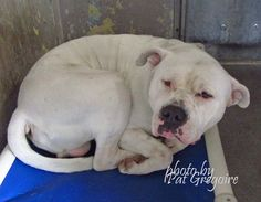 A4800466 I am a 1 yr old male white pit bull mix. I came to the shelter on Feb 14 because my owner was arrested. available 3/1/15 NOTE: Bully breeds are not kept as long as others so those dogs are always urgent!!  Baldwin Park shelter  https://www.facebook.com/photo.php?fbid=927644293914075&set=pb.100000055391837.-2207520000.1424553597.&type=3&theater