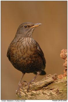 "Blackbird (female), always with ""hubby"" on the hunt in the borders."