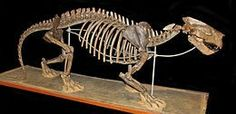 Patriofelis was a large, cat-like oxyaenidof middleEocene, some 45 million years ago inNorth America.