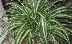 Spider Plant: this plant can remove up to 90 percent of the toxins in your indoor air. Top 10 NASA Approved Houseplants for Improving Indoor Air Quality Inside Plants, Cool Plants, Indoor Garden, Indoor Plants, Chlorophytum, Plantas Indoor, Water From Air, Office Plants, Spider Plants