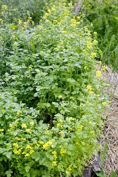 Mustard - as a cover crop - disinfects and regenerates the soil.
