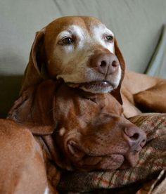 My life of saving cats and dogs while always looking for ways to save cash Wirehaired Vizsla, Vizsla Dog, Beautiful Dogs, Animals Beautiful, Animals And Pets, Cute Animals, Hungarian Vizsla, Baby Puppies, Old Dogs