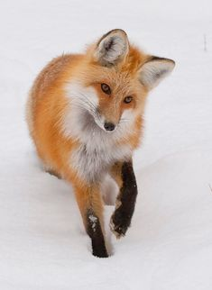 Red Fox by Mark Miller