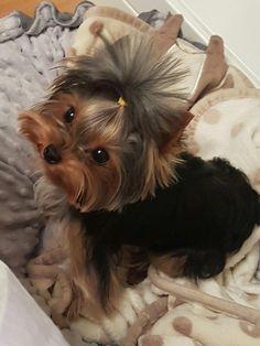 Pin by Christie Boone on Yorkies Yorkies, Biewer Yorkie, Teacup Yorkie, Teacup Puppies, Yorkie Puppy, Pomeranian Dogs, Yorkie Haircuts, Yorshire Terrier, Yorkshire Terrier Puppies