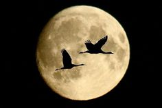 Wild geese that fly with the moon on their wings.