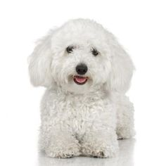 If you're looking for a small, devoted companion canine, you won't go wrong with either a toy poodle or a bichon frise. People unfamiliar with the latter breed often assume it's a poodle at first encounter. If you're undecided, certain traits in either breed could influence your choice.