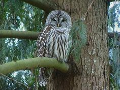 The Barred Owl is similar in appearance only to the Spotted Owl and is unlikely to be confused with any other owl. There are some distinct differences that make these two owls distinguishable though. The most visual distinction is that the Barred Owl has brown vertical streaks on its underside where the Spotted Owl has short brown horizontal bars (and spots on its crown).
