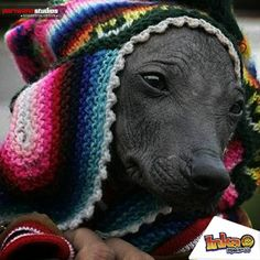 Día Internacional del Perro sin pelo del Perú. #perrocalato #perro #dog #peru #perrosinpelo #viringo #chimor