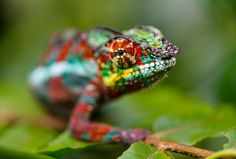 There are about 160 species of chameleons in the world | Animals Zone