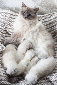 Ragdoll Kittens | The Ragdoll is a cat breed with blue eyes and a distinct colorpoint coat. It is a large and muscular semi-longhair cat with a soft and silky coat.Developed by American breeder Ann Baker in the 1960's, it is best known for its docile and placid temperament and affectionate nature. The name #ragdollcatcolorpoint