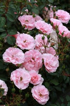 Bonica :- Shrub-type rose with masses of blooms which flowers continuously.