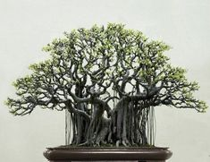 33 Awesome Bonsai Plant Design Ideas For Garden. If you are looking for Bonsai Plant Design Ideas For Garden, You come to the right place. Below are the Bonsai Plant Design Ideas For Garden. Bonsai Ficus, Bonsai Plante, Indoor Bonsai, Pot Plante, Bonsai Garden, Bonsai Trees, Bonsai Forest, Banyan Tree Bonsai, Bougainvillea Bonsai