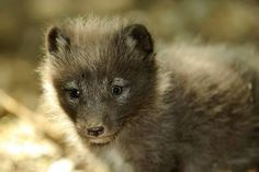 On April 24, an octet of Arctic Fox kits was born at Mulhouse Zoo in France. While eight kits might seem like a lot, it isn't unusual for this species: Arctic Foxes may give birth to up to 20 offspring! However, they may only be able to raise two to four of their many kits successfully in the wild, depending on the availability of prey. The parents are also new arrivals at the zoo. Five-year-old mom Huslia and two-year-old father Koltik arrived from the Netherlands in March.