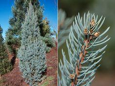 Picea pungen Fastigiata