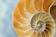 """A macro close-up of the interior chambers of a nautilus shell ."