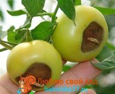 Болезни помидоров с фото и описанием. Профилактика, причины болезней, лечение с фото. Вирусные, бактериальные, инфекционные.