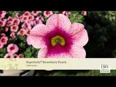 Superbells® Frostfire - Calibrachoa hybrid | Proven Winners