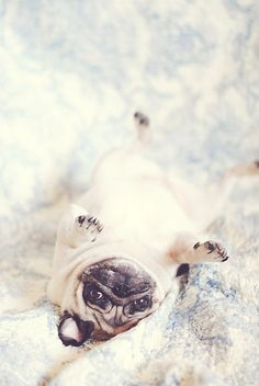"""UpSiDEdOwn Pug"" by NJMphotography | Redbubble"