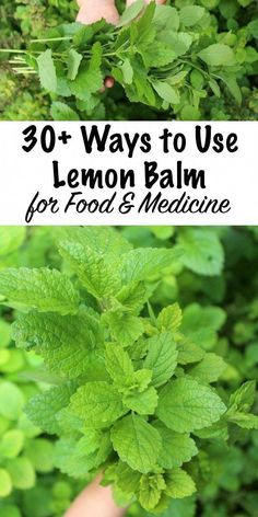 30 Ways to Use Lemon Balm Lemon balm is a lovely addition to any herb garden and it produces huge crops of fragrant leaves in the summer months. Lemon balm recipes range from sweet to savory and lemon balm drinks are especially enticing. Lemon Balm Recipes, Lemon Balm Uses, Herb Recipes, Recipes With Herbs, Home Remedies, Natural Remedies, Herbal Remedies, Health Remedies, Healing Herbs
